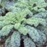Bulk Non GMO Dwarf Blue Curled - Kale Vegetable Garden Seed
