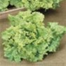 Bulk Non GMO Black Seeded Simpson - Lettuce Vegetable Garden Seed