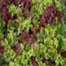 Bulk Non GMO Gourmet Salad Blend - Lettuce Vegetable Garden Seed