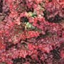 Bulk Non GMO Ruby Red Leaf - Lettuce Vegetable Garden Seed