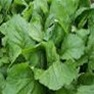 Bulk Non GMO Florida Broadleaf - Mustard Vegetable Garden Seed