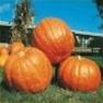 Bulk Non GMO Big Max - Pumpkin Vegetable Garden Seed