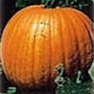 Bulk Non GMO Connecticut Field - Pumpkin Vegetable Garden Seed