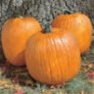 Bulk Non GMO Howden - Pumpkin Vegetable Garden Seed