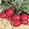 Bulk Non GMO Early Scarlet Globe - Radish Vegetable Garden Seed