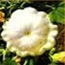 Bulk Non GMO White Bush Scallop - Squash Vegetable Garden Seed