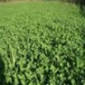 Buy Premium Quality Buck Forage Oats - Bulk Clover Grass Seed Online