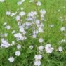 Buy  Premium Quality Chicory - Bulk Clover Grass Seed Online