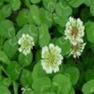 Buy High-Quality Dutch White Clover - Bulk Grass Seed Online
