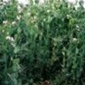Buy Premium Quality Forage Peas - Bulk Clover Grass Seed Online