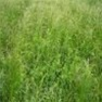 Buy Premium Quality Hairy Vetch - Bulk Clover Grass Seed Online