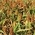 Buy Premium Quality Sorghum Grain in Bulk - Clover Grass Seed Online
