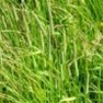 Buy Premium Quality Timothy - Bulk Clover Grass Seed Online